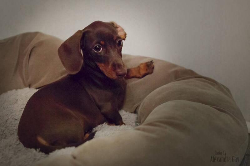 Hunter the Dachshund