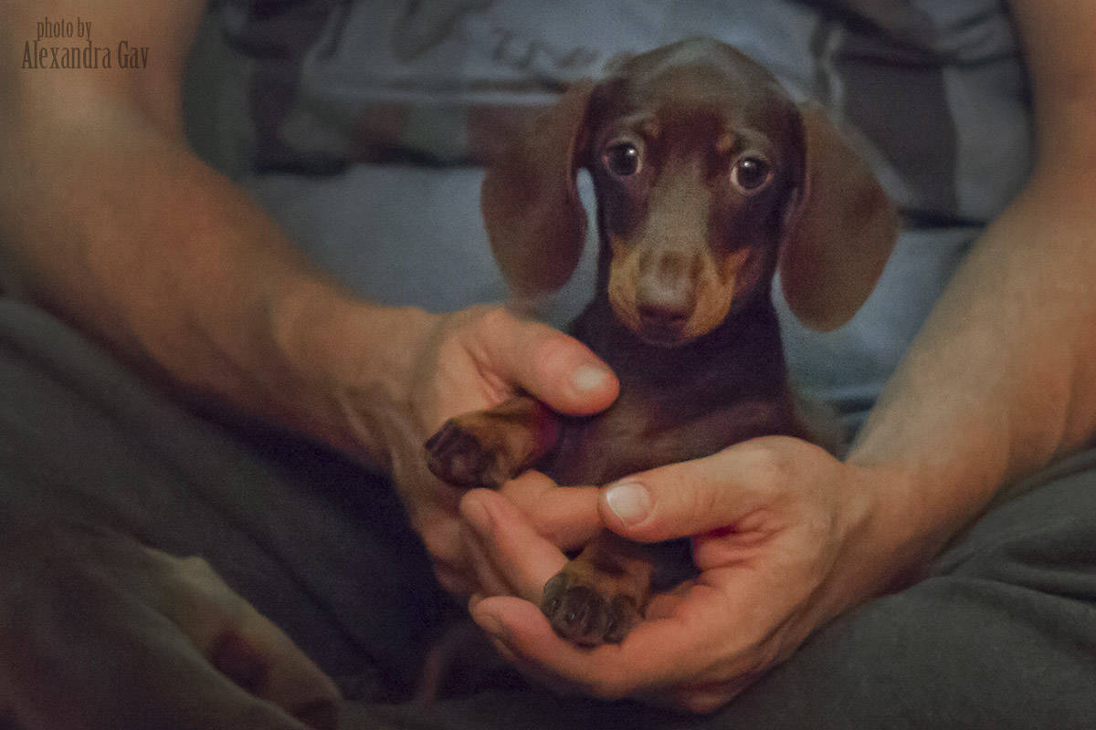 Dachshund smooth puppies